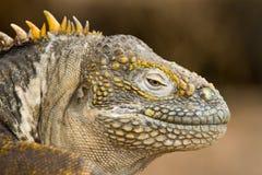 Iguana dello sbarco del Galapagos Immagine Stock