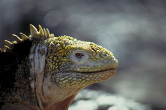 Iguana dello sbarco - isole di Galapagos Fotografia Stock Libera da Diritti