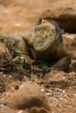 Iguana dello sbarco, isole di galapagos Fotografia Stock