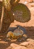 Iguana dello sbarco, isole di galapagos Fotografie Stock