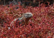 Iguana dello sbarco nel giacimento del cactus Fotografie Stock