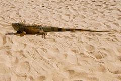 Iguana in the desert Royalty Free Stock Photos