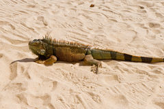 Iguana on desert sand Stock Photo