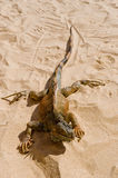 Iguana on desert sand Royalty Free Stock Photos