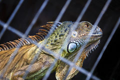 Iguana desire freedom Stock Photos