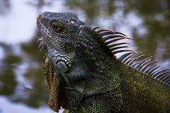 Iguana detail. Royalty Free Stock Images