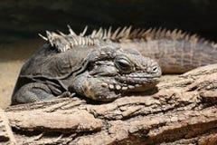 Iguana detail. Iguana in detal lying on branch Royalty Free Stock Images