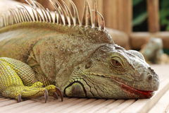 Iguana detail Stock Photos
