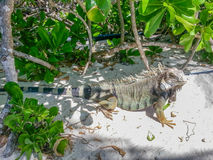 Iguana di Brown Fotografia Stock