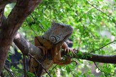 Iguana di Brown sull'albero Fotografia Stock Libera da Diritti