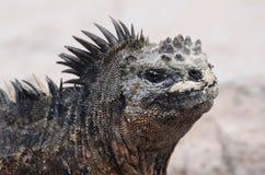 Iguana di Galapagos Immagini Stock