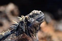 Iguana di Galapagos Immagini Stock Libere da Diritti