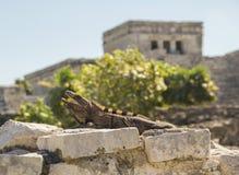 Iguana di sbadiglio in sito archeologico Immagine Stock Libera da Diritti