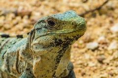 Iguana di Spinytail Fotografia Stock