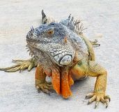 Iguana do estudo Foto de Stock Royalty Free