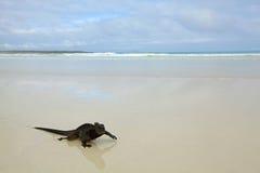 Iguana do fuzileiro naval de Galápagos Foto de Stock