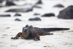 Iguana do fuzileiro naval de Galápagos Fotos de Stock Royalty Free