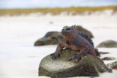 Iguana do fuzileiro naval de Galápagos Foto de Stock Royalty Free