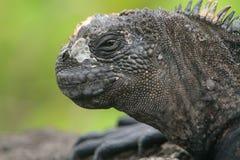 Iguana do fuzileiro naval de Galápagos Imagens de Stock