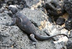Iguana do fuzileiro naval de Galápagos imagem de stock