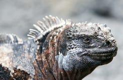 Iguana do fuzileiro naval de Galápagos fotografia de stock royalty free