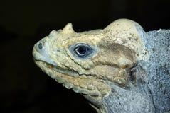 Iguana do rinoceronte imagem de stock