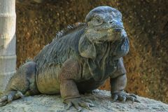 Iguana do rinoceronte Imagem de Stock Royalty Free