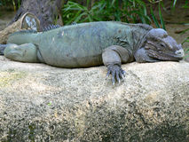 Iguana do rinoceronte Foto de Stock Royalty Free