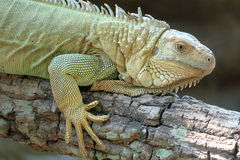 Iguana dragon on the ground Royalty Free Stock Photo