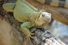 Iguana dragon on the ground Royalty Free Stock Images