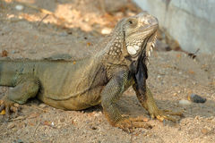 Iguana dragon on the ground Royalty Free Stock Photos