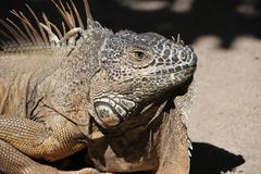 Iguana, Dragon, Reptile, Animal Royalty Free Stock Image