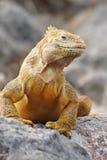 iguana dumna Obrazy Stock