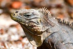 iguana dzika fotografia stock