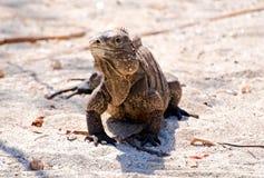 iguana dzika obrazy royalty free