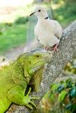 Iguana e piccione Immagini Stock
