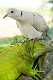 Iguana e piccione Fotografia Stock Libera da Diritti