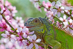 Iguana eat a peach flowers Stock Photos