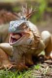 Iguana eating Stock Photos