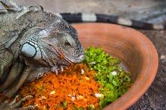 Iguana eating Royalty Free Stock Image