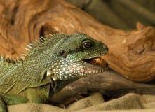 Iguana eating a worm Stock Photos