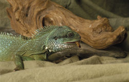 Iguana eating a worm Royalty Free Stock Images