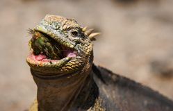 The iguana eats a cactus. The iguana almost entirely swallows a fruit of a cactus of a prickly pear royalty free stock photo
