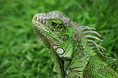 Iguana in Ecuador Stock Photography
