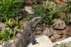 Iguana in EL Rey Fotografie Stock