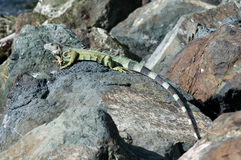 Iguana el Sun Imagenes de archivo