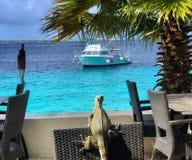 Iguana em Bonaire fotografia de stock