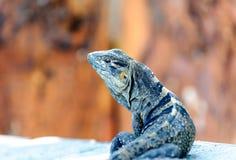 Iguana em Costa Rica Fotografia de Stock