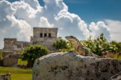 Iguana em ruínas maias de Tulum, México Fotografia de Stock Royalty Free