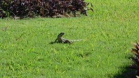 Iguana em seu habitat natural vídeos de arquivo